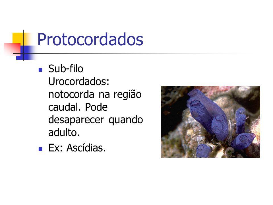 Protocordados Sub-filo Urocordados: notocorda na região caudal.