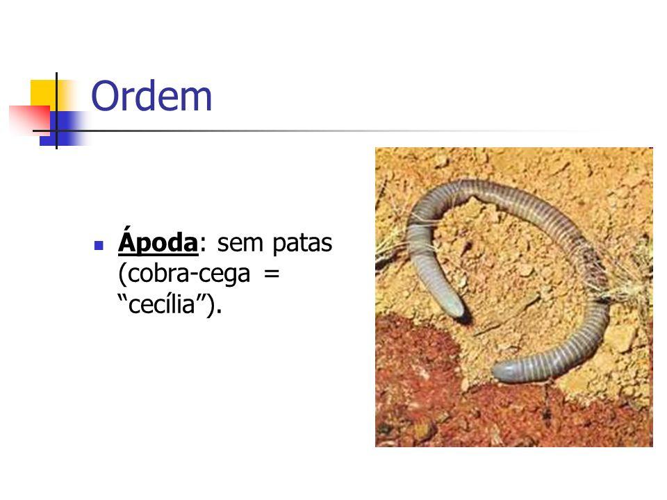 Ordem Ápoda: sem patas (cobra-cega = cecília ).