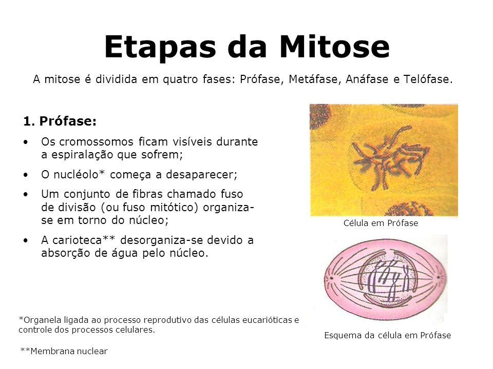 Etapas da Mitose 1. Prófase: