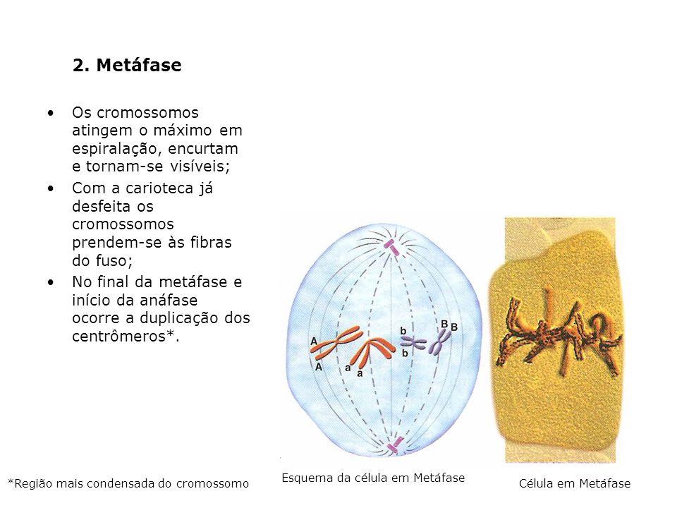 2. MetáfaseOs cromossomos atingem o máximo em espiralação, encurtam e tornam-se visíveis;