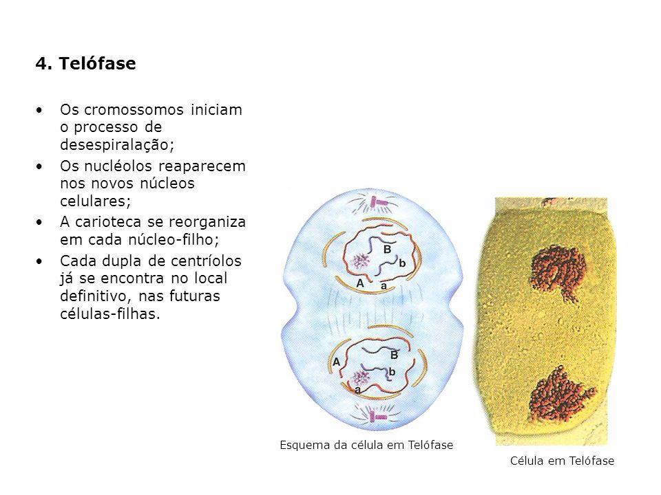 4. Telófase Os cromossomos iniciam o processo de desespiralação;