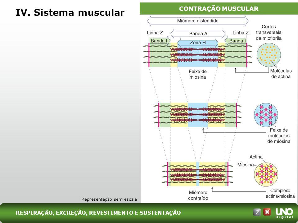 IV. Sistema muscular CONTRAÇÃO MUSCULAR Bio-cad-2-top-7 – 3 Prova