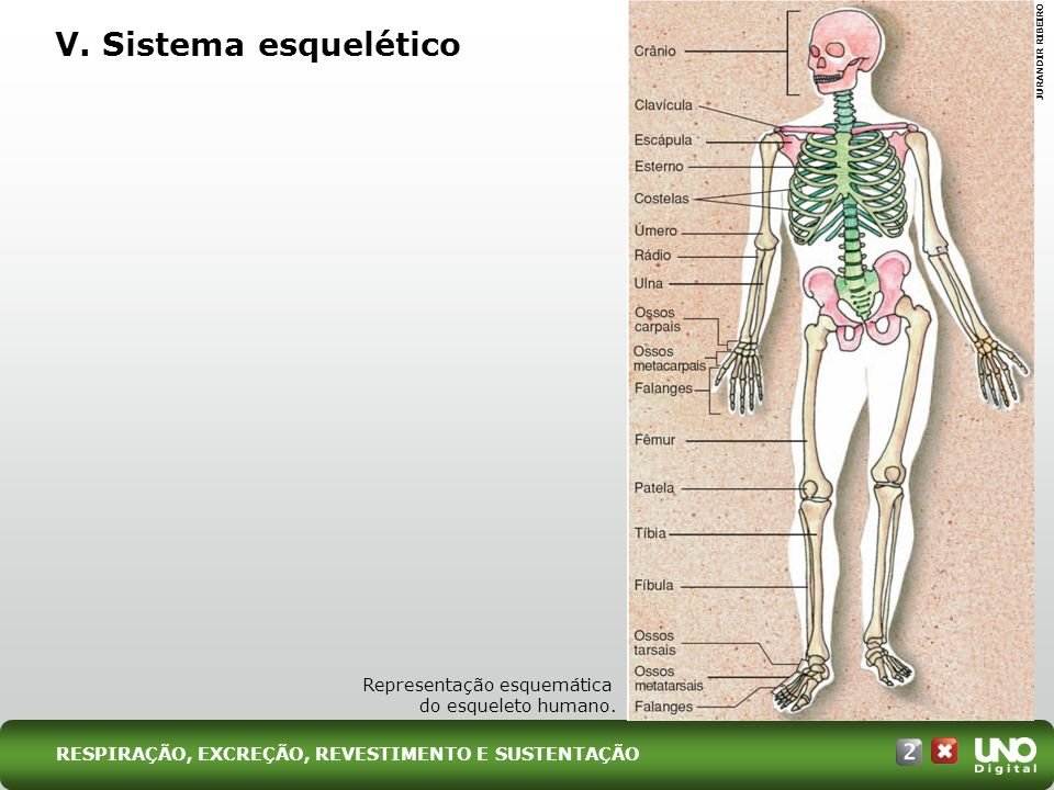 V. Sistema esquelético Bio-cad-2-top-7 – 3 Prova