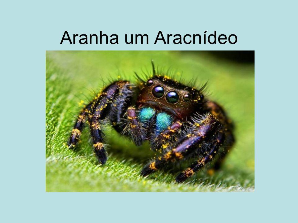 Aranha um Aracnídeo
