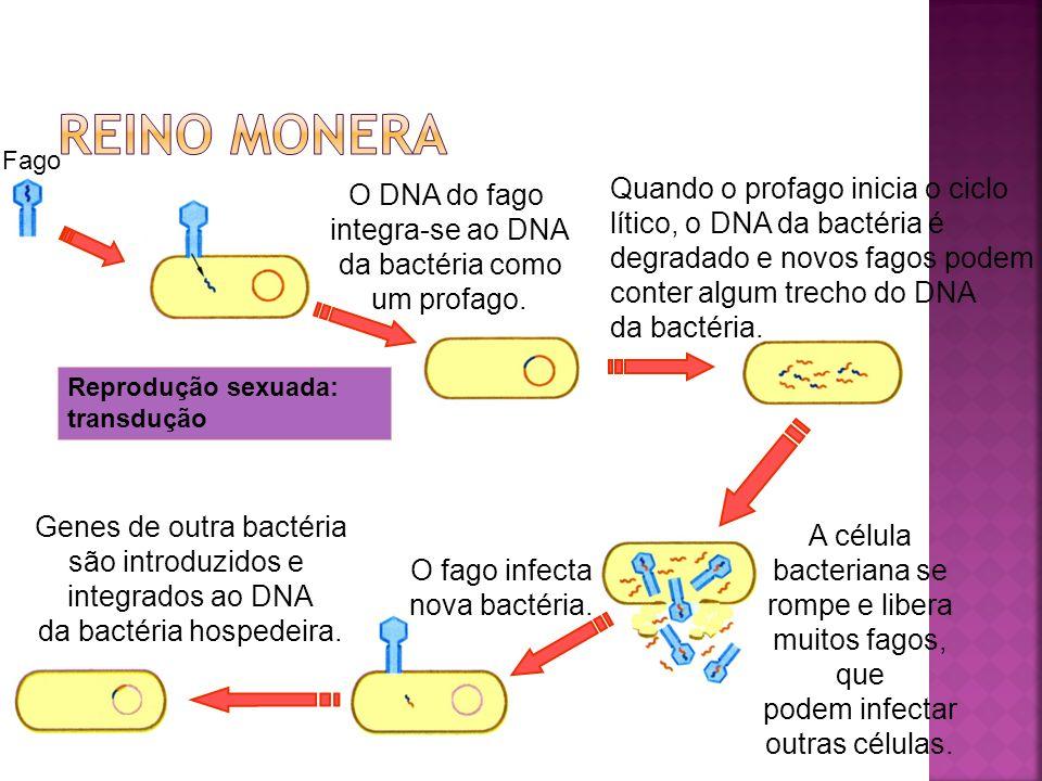 reino moneraFago. Quando o profago inicia o ciclo lítico, o DNA da bactéria é degradado e novos fagos podem conter algum trecho do DNA da bactéria.