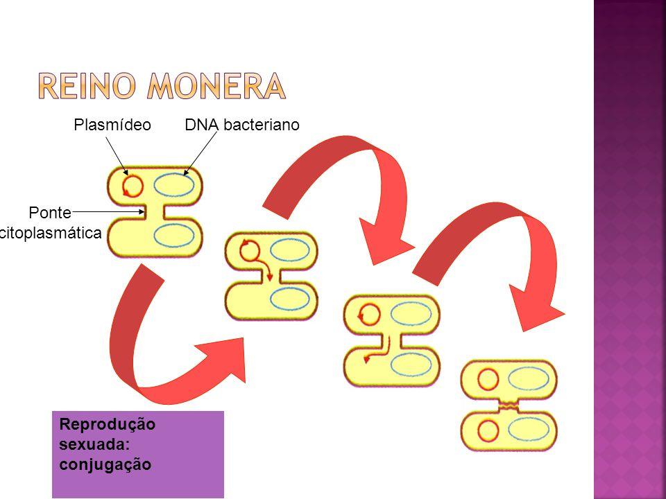 Reino monera Plasmídeo DNA bacteriano Ponte citoplasmática
