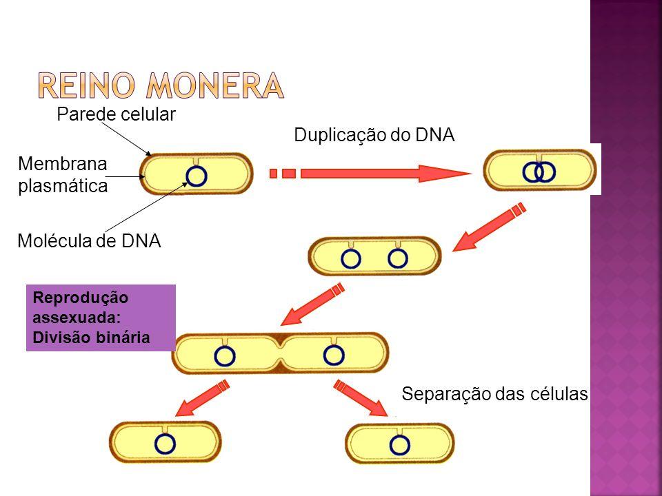 Reino monera Parede celular Duplicação do DNA Membrana plasmática