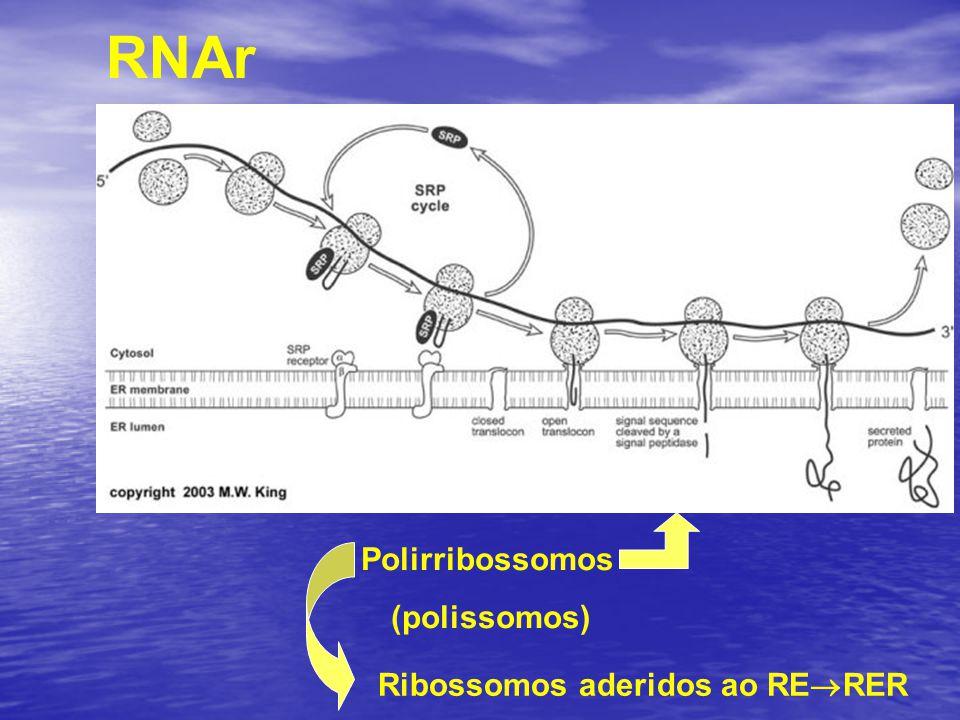 RNAr Polirribossomos (polissomos) Ribossomos aderidos ao RERER