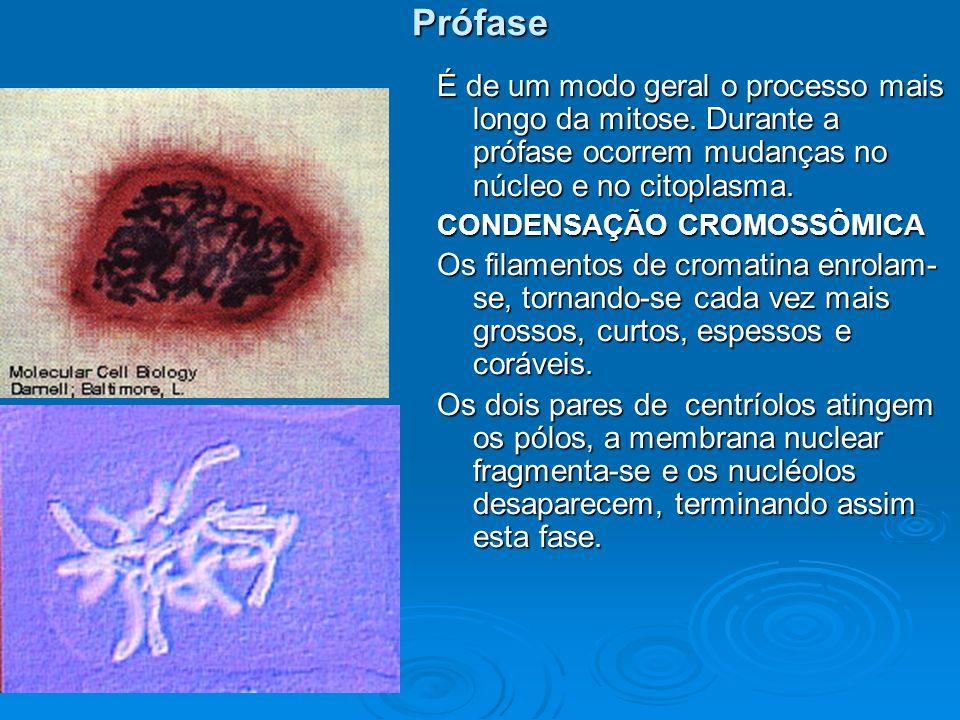 Prófase É de um modo geral o processo mais longo da mitose. Durante a prófase ocorrem mudanças no núcleo e no citoplasma.
