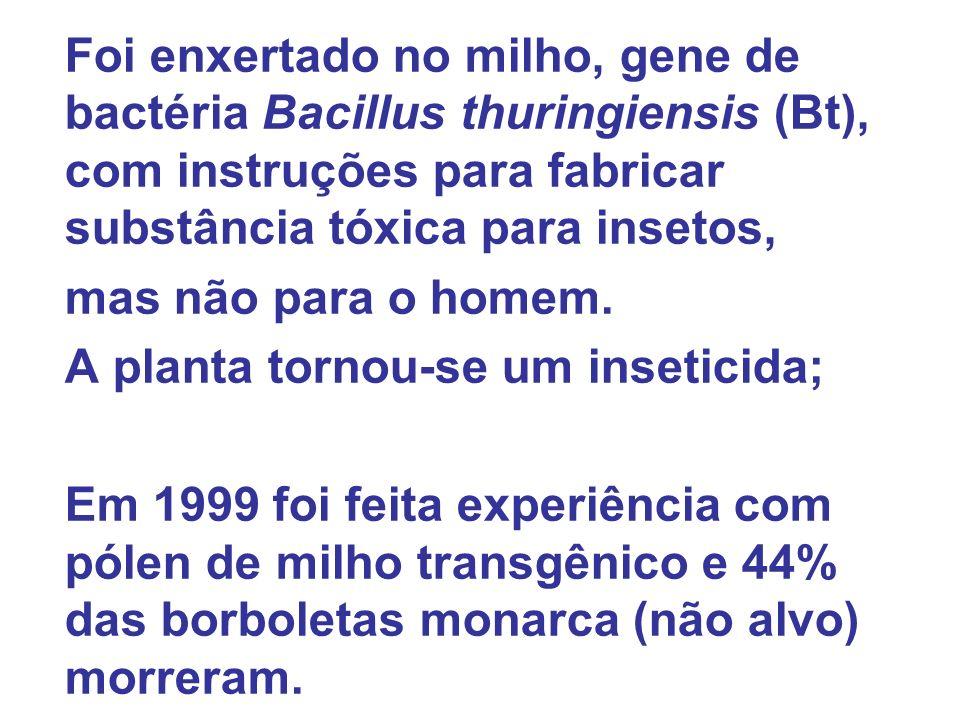 Foi enxertado no milho, gene de bactéria Bacillus thuringiensis (Bt), com instruções para fabricar substância tóxica para insetos,