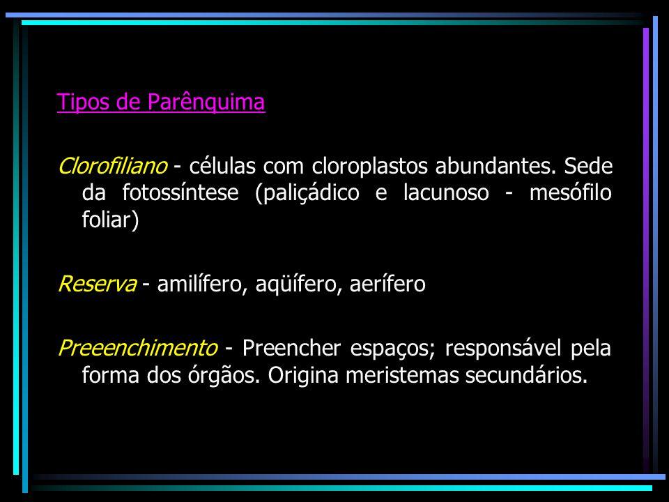 Tipos de ParênquimaClorofiliano - células com cloroplastos abundantes. Sede da fotossíntese (paliçádico e lacunoso - mesófilo foliar)