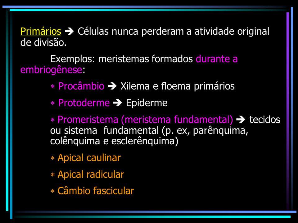 Primários  Células nunca perderam a atividade original de divisão.