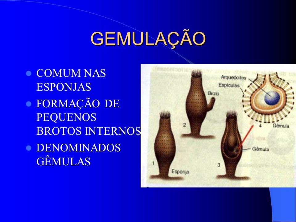 GEMULAÇÃO COMUM NAS ESPONJAS FORMAÇÃO DE PEQUENOS BROTOS INTERNOS