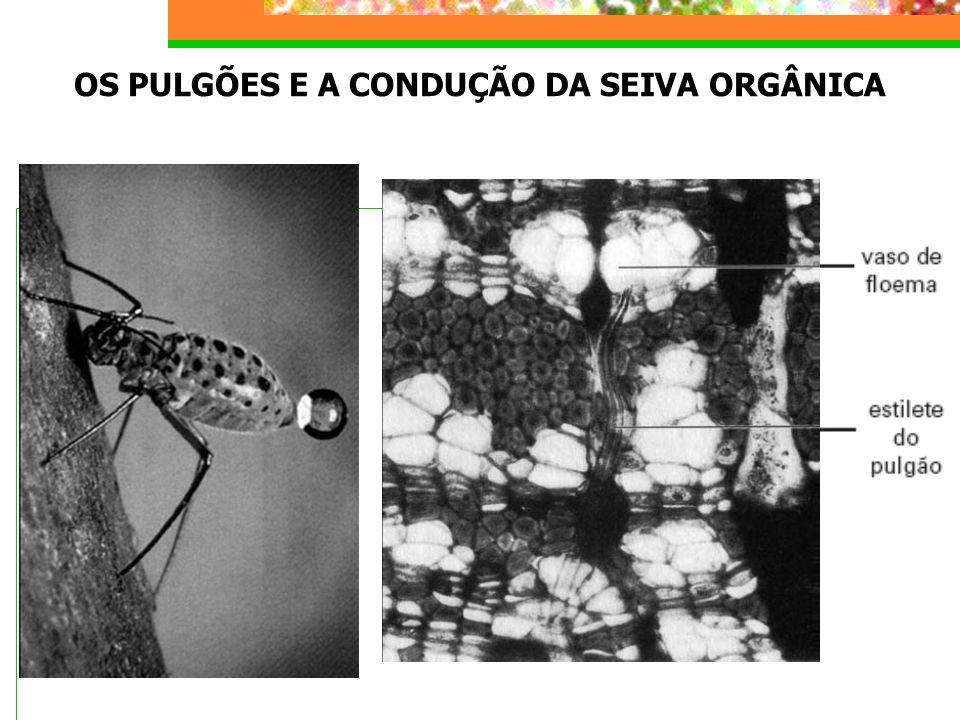 OS PULGÕES E A CONDUÇÃO DA SEIVA ORGÂNICA