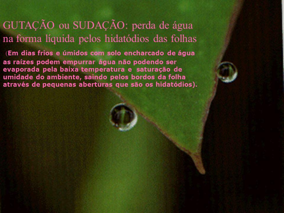 GUTAÇÃO ou SUDAÇÃO: perda de água na forma líquida pelos hidatódios das folhas