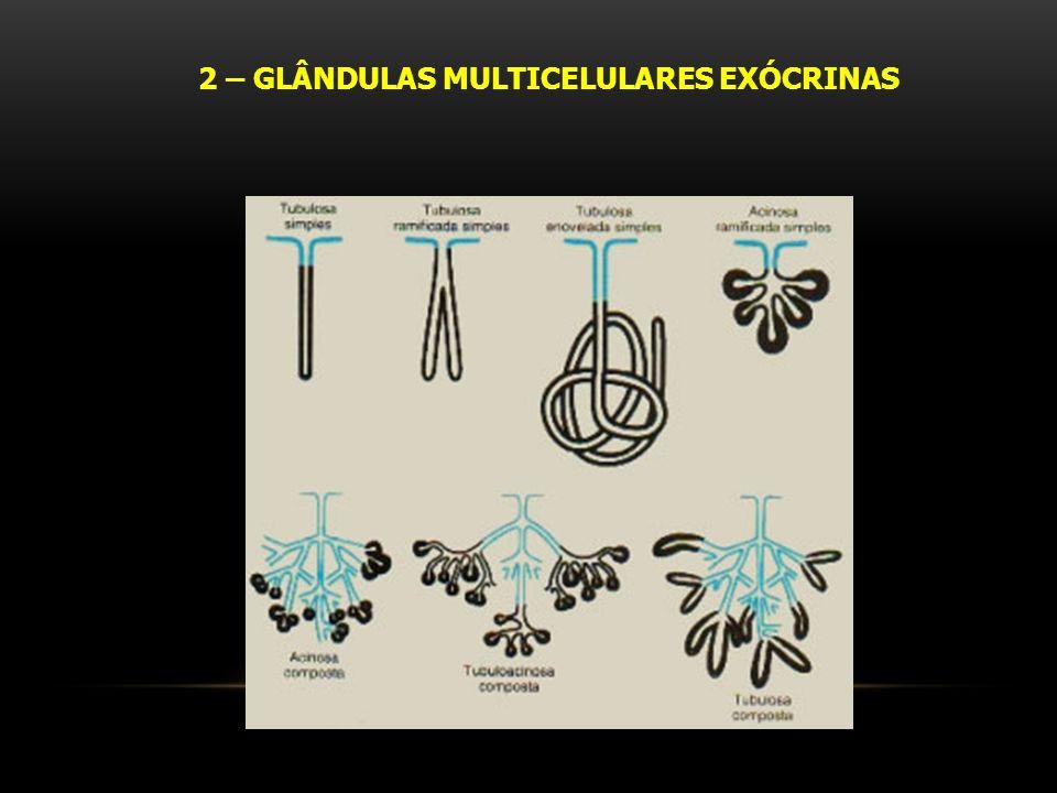2 – GLÂNDULAS MULTICELULARES EXÓCRINAS