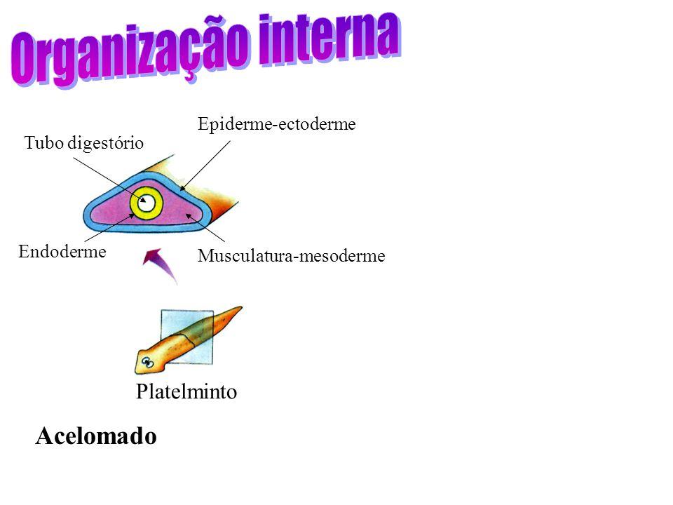 Organização interna Acelomado Platelminto Epiderme-ectoderme