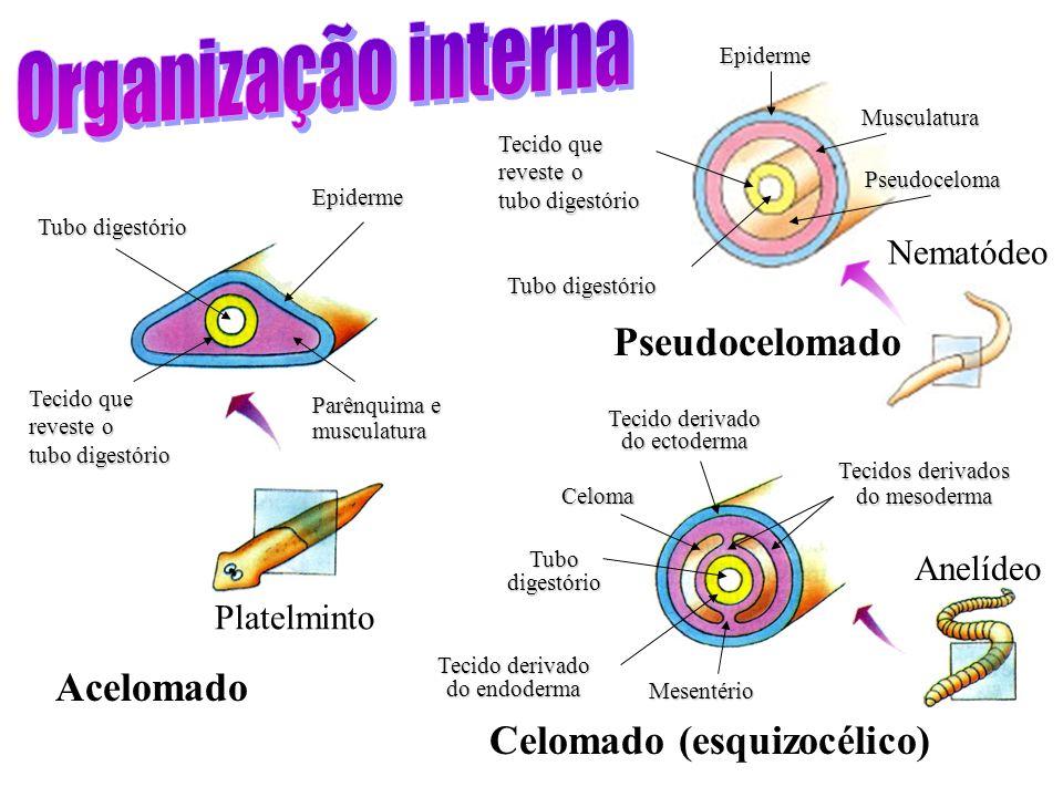Organização interna Pseudocelomado Acelomado Celomado (esquizocélico)