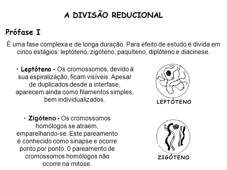 A DIVISÃO REDUCIONAL Prófase I