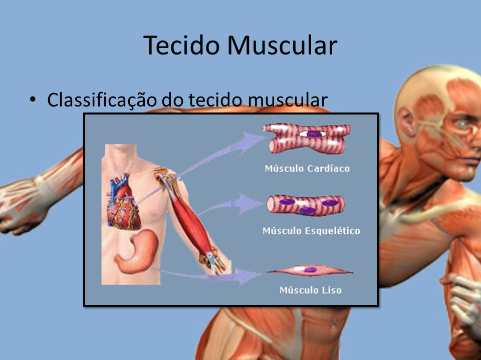 Tecido Muscular Classificação do tecido muscular