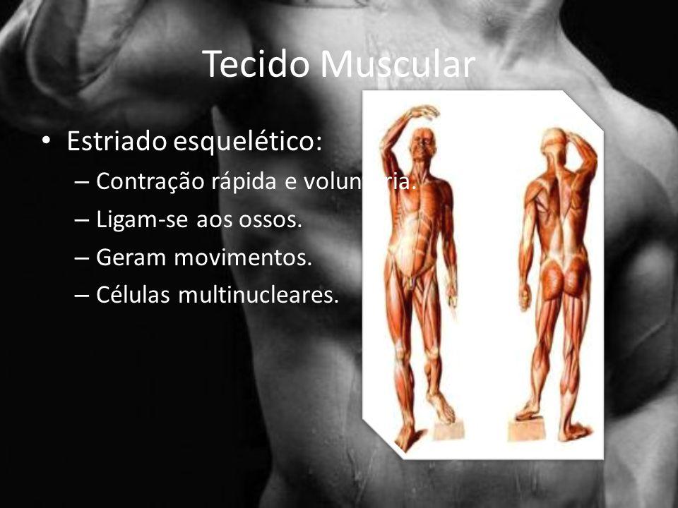 Tecido Muscular Estriado esquelético: Contração rápida e voluntária.