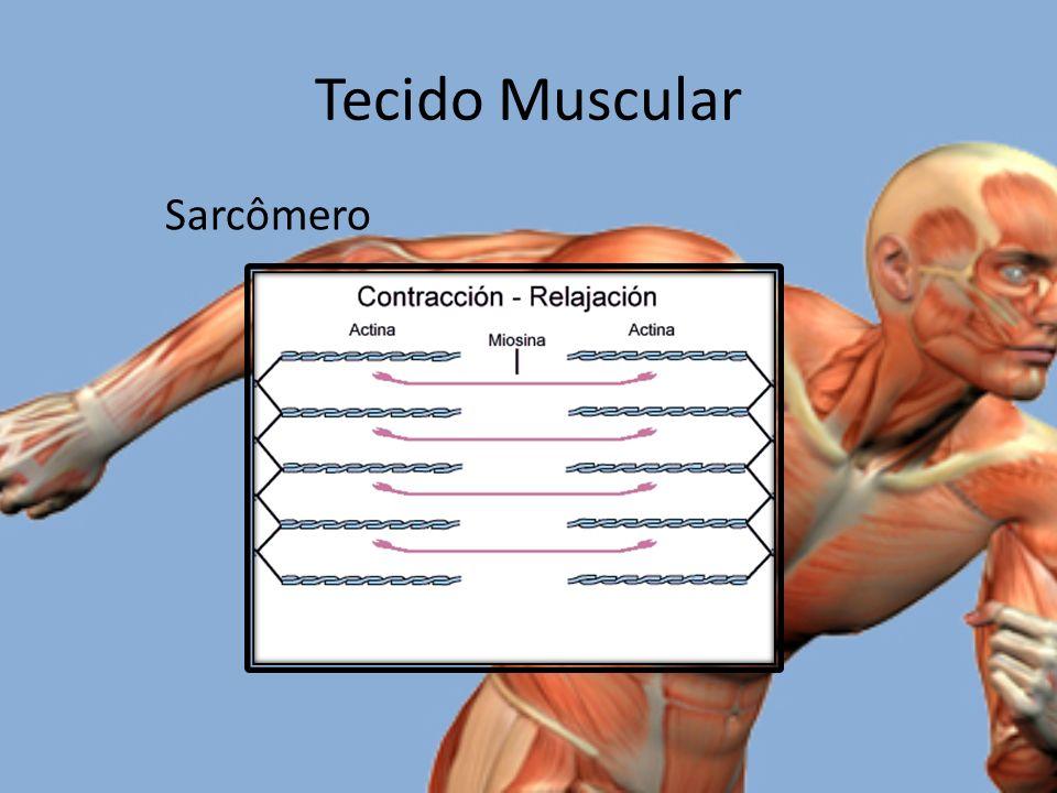 Tecido Muscular Sarcômero