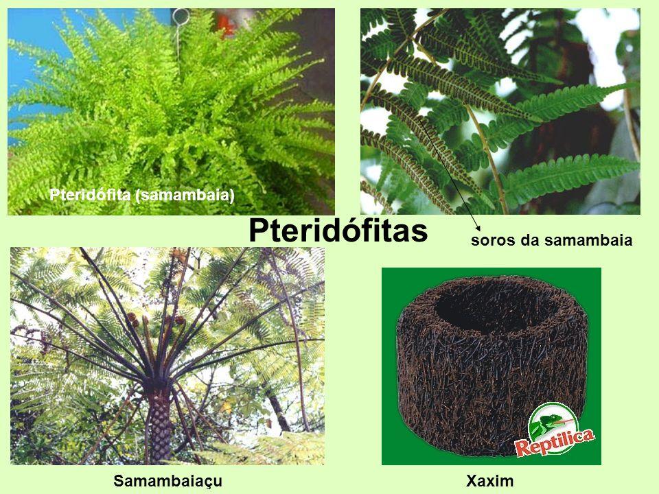 Pteridófitas Pteridófita (samambaia) soros da samambaia Samambaiaçu