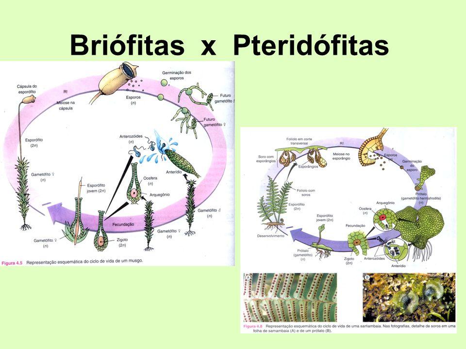 Briófitas x Pteridófitas