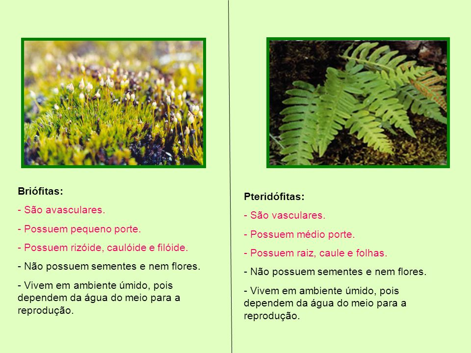Briófitas: - São avasculares. - Possuem pequeno porte. Possuem rizóide, caulóide e filóide. Não possuem sementes e nem flores.