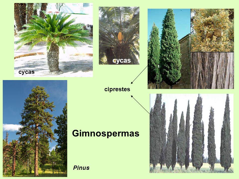 cycas cycas ciprestes Gimnospermas Pinus