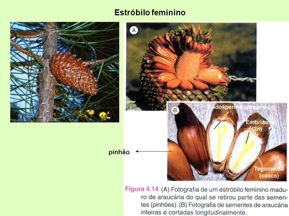Estróbilo feminino pinhão