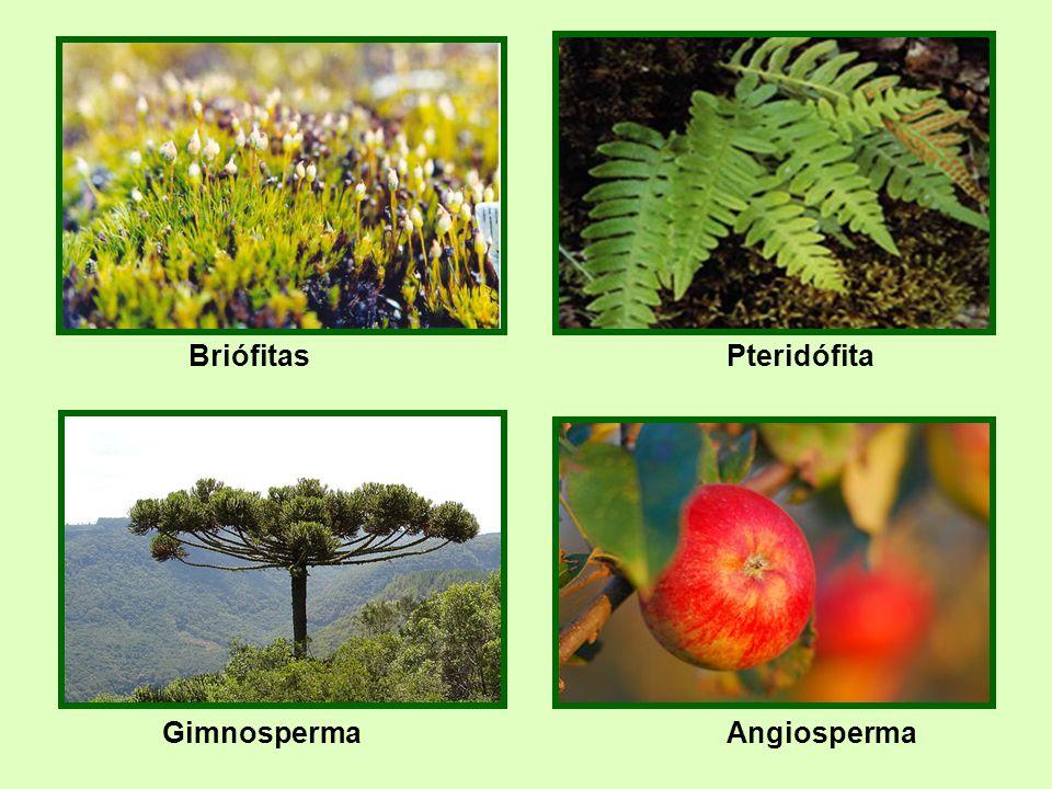 hepáticas Briófitas Pteridófita Gimnosperma Angiosperma