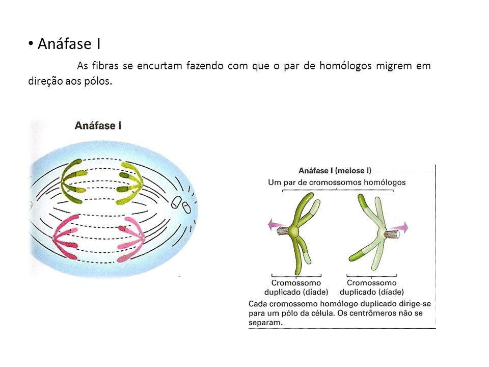 Anáfase I As fibras se encurtam fazendo com que o par de homólogos migrem em direção aos pólos.