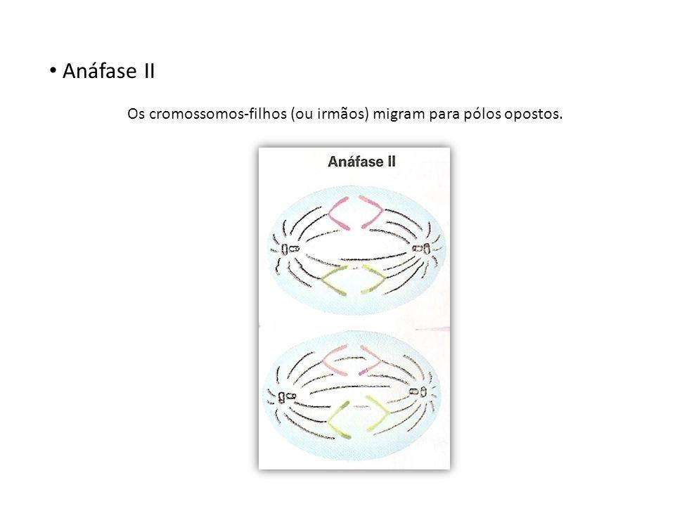 Anáfase II Os cromossomos-filhos (ou irmãos) migram para pólos opostos.