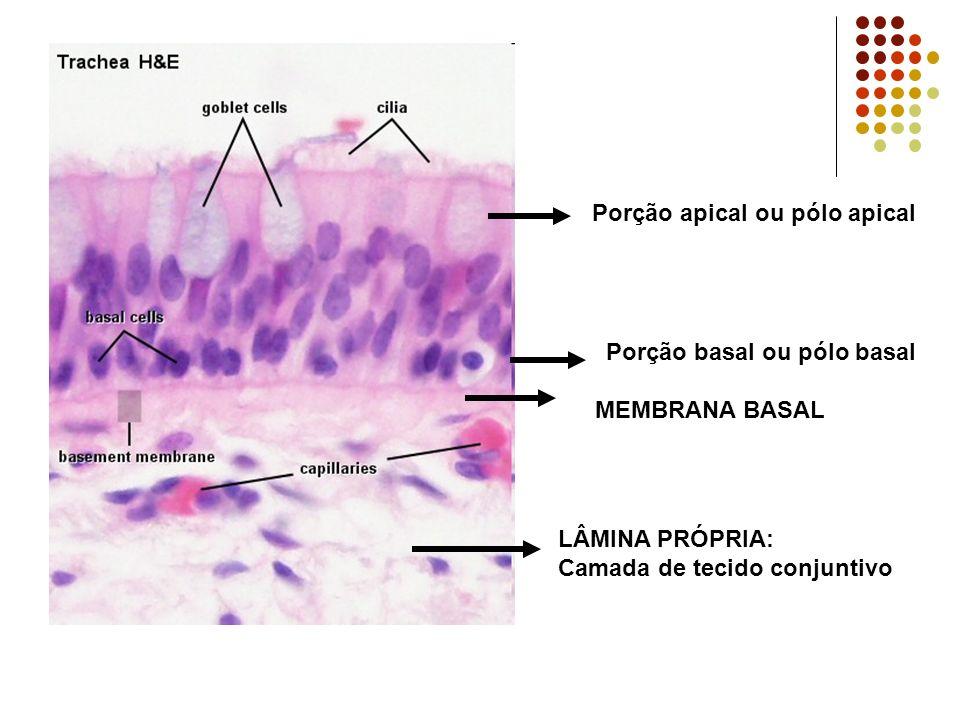 Porção apical ou pólo apical