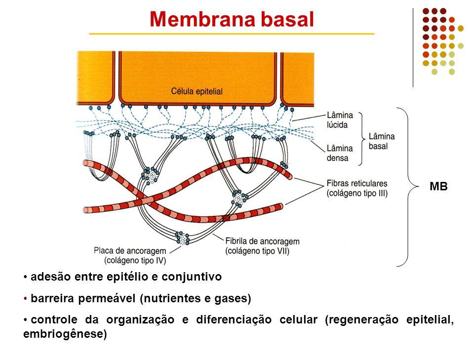 Membrana basal MB adesão entre epitélio e conjuntivo