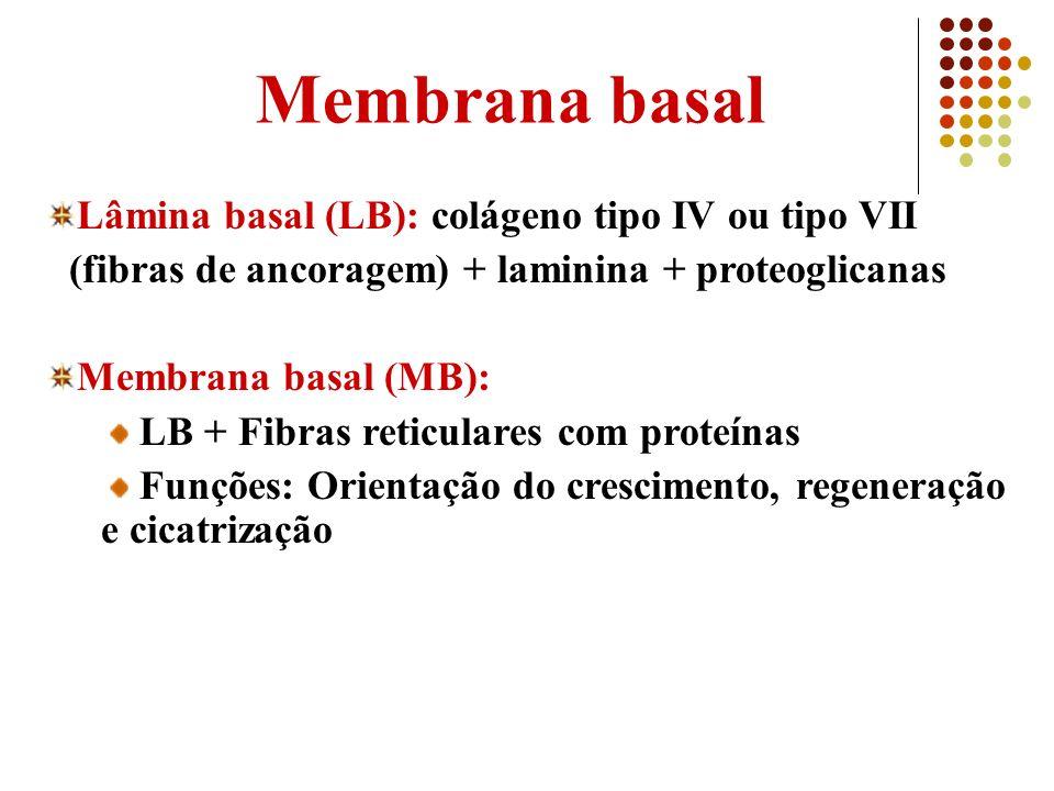 Membrana basal Lâmina basal (LB): colágeno tipo IV ou tipo VII