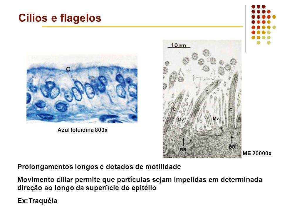 Cílios e flagelos Prolongamentos longos e dotados de motilidade