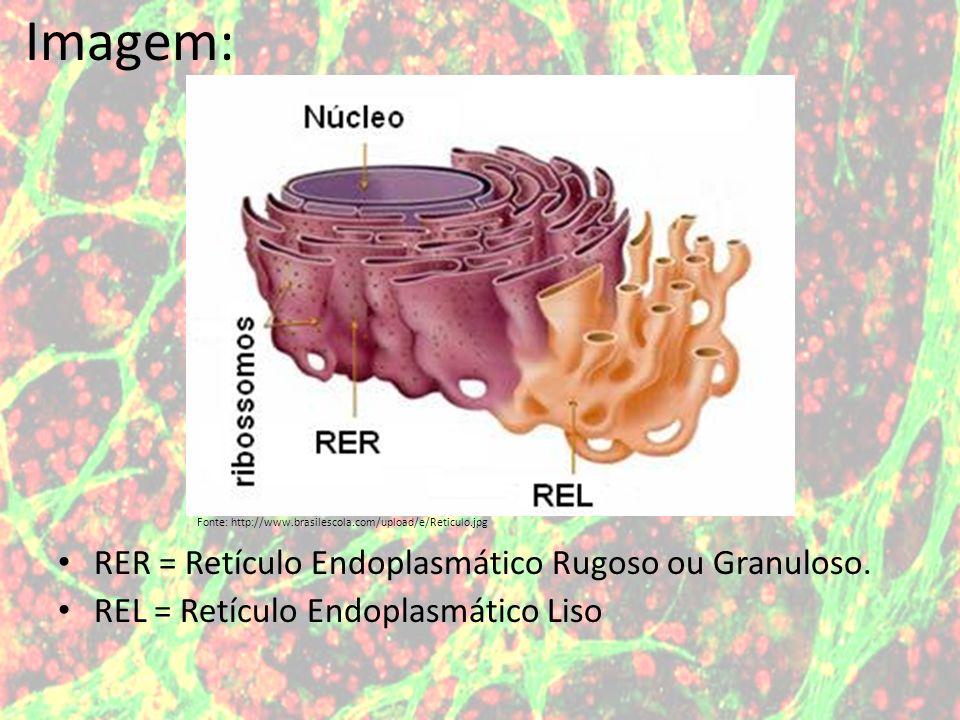 Imagem: RER = Retículo Endoplasmático Rugoso ou Granuloso.