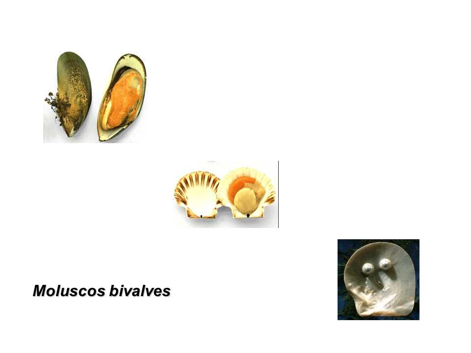 Moluscos bivalves