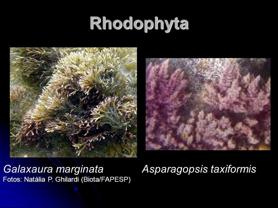 Rhodophyta Galaxaura marginata Asparagopsis taxiformis
