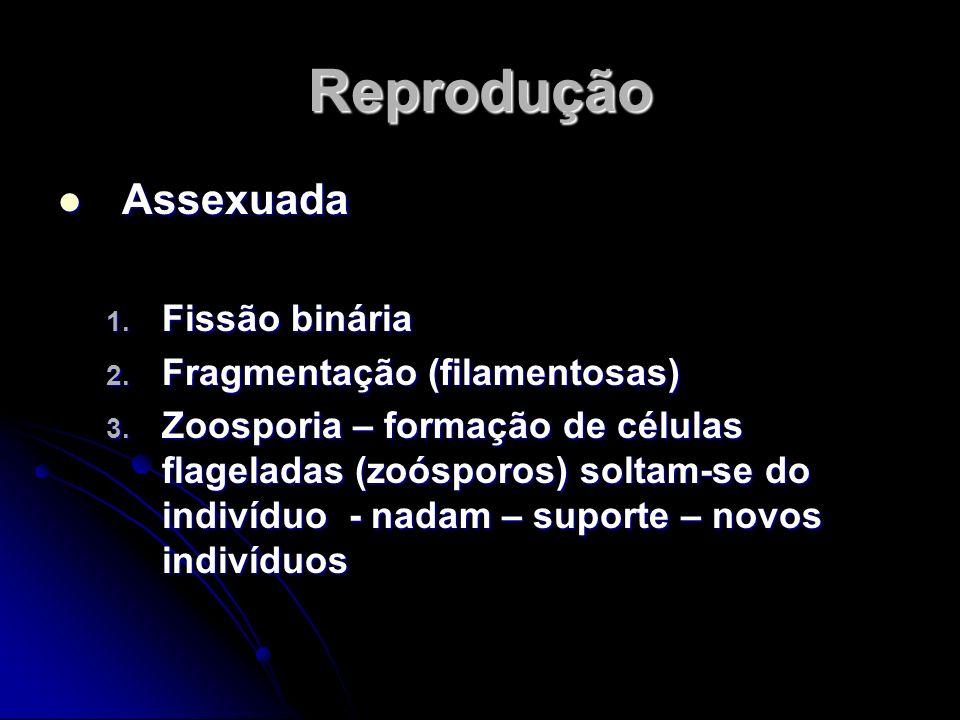 Reprodução Assexuada Fissão binária Fragmentação (filamentosas)