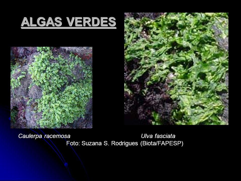 ALGAS VERDES Caulerpa racemosa Ulva fasciata