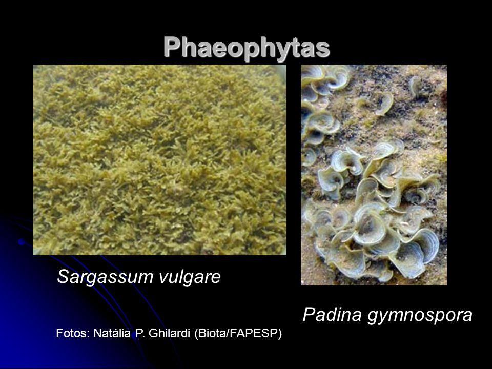 Phaeophytas Sargassum vulgare Padina gymnospora
