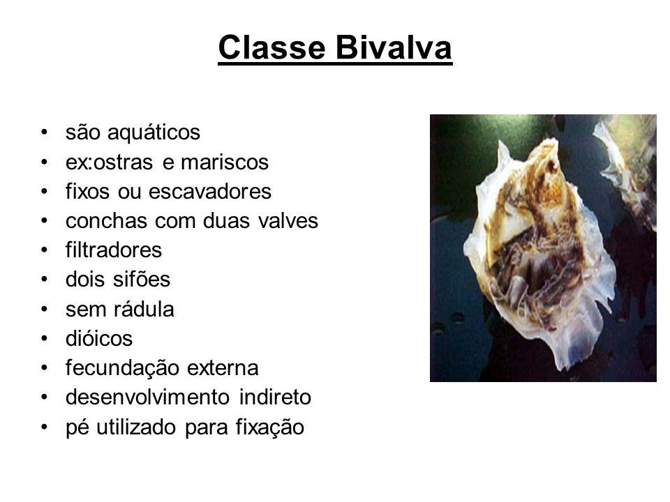 Classe Bivalva são aquáticos ex:ostras e mariscos fixos ou escavadores