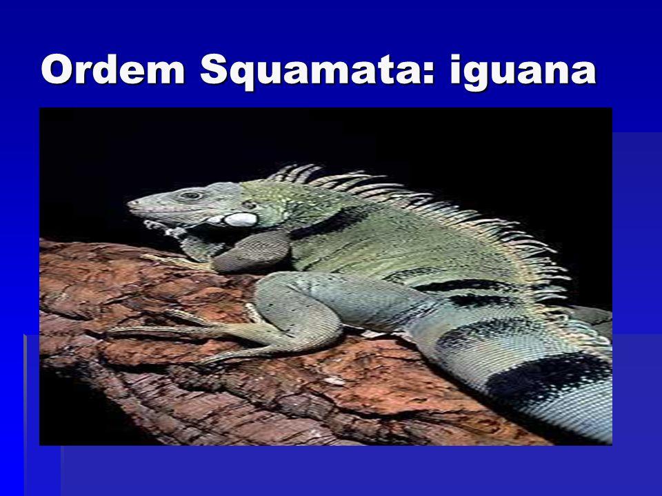Ordem Squamata: iguana