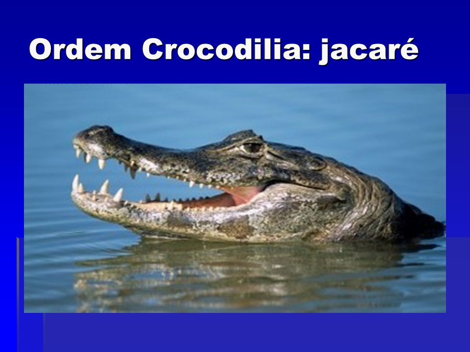Ordem Crocodilia: jacaré