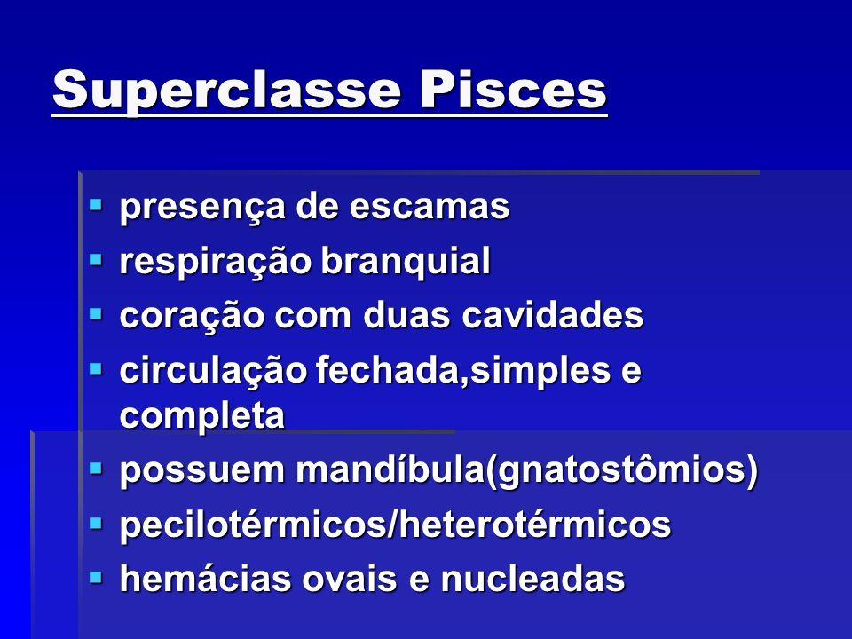 Superclasse Pisces presença de escamas respiração branquial
