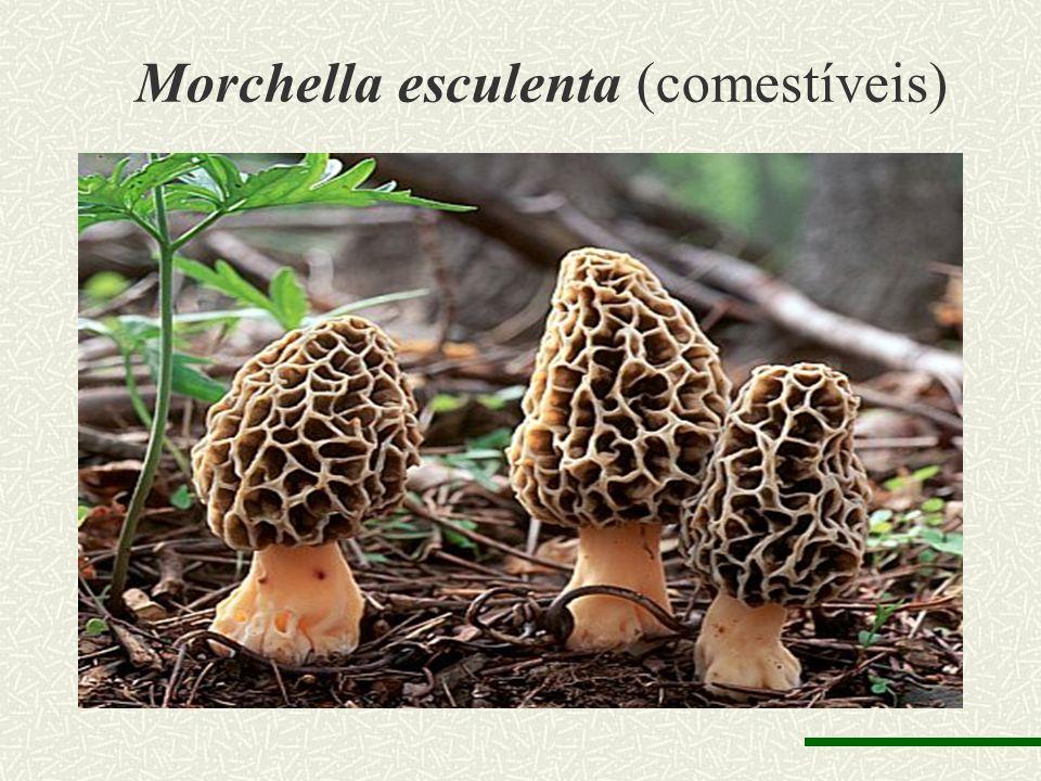 Morchella esculenta (comestíveis)