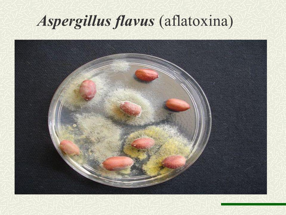 Aspergillus flavus (aflatoxina)